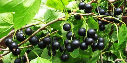 Мультивитаминная черная смородина