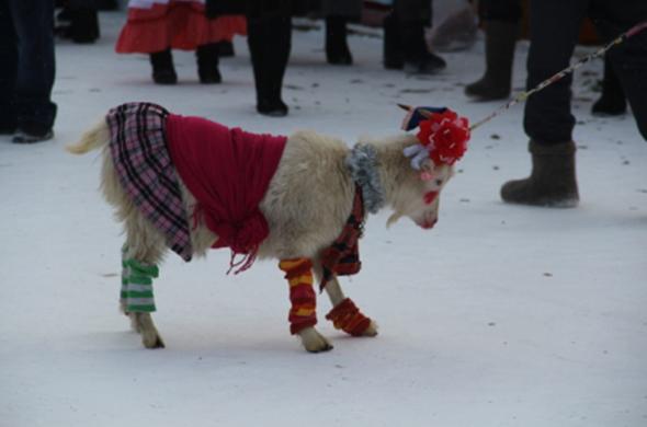 В Татарстане выбрали самую красивую козу