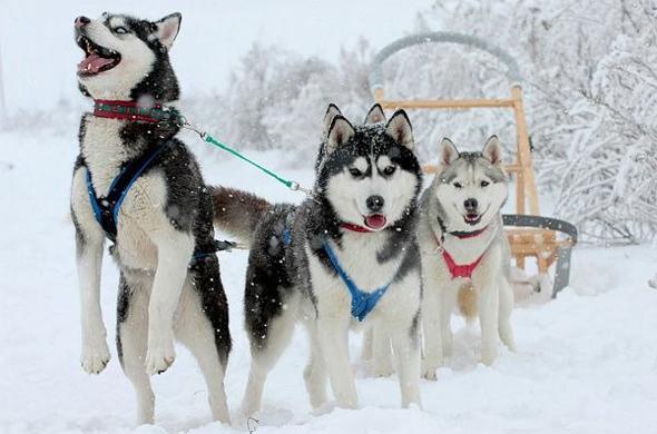 Гонки на собачьих упряжках финишируют 1 февраля в Казани
